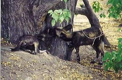 Two African Wild Dogs are playing around a tree.
