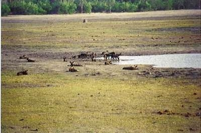 A group of African Wild Dogs drinking water at a watering hole