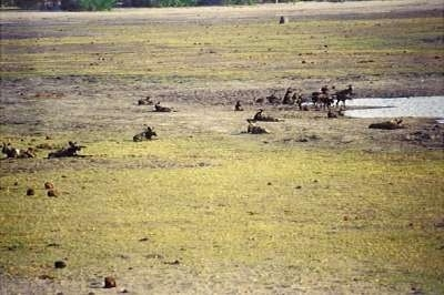 A pack of African Wild Dogs at a watering hole.