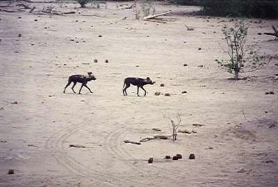 Two African Wild Dogs walking a desert like environment