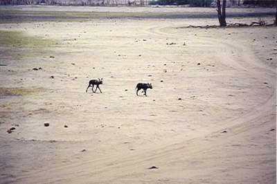 The right side of Two African Wild Dogs that are walking across a sandy terrain.