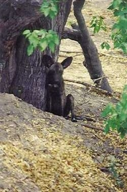 An African Wild Dog is sitting against a tree.