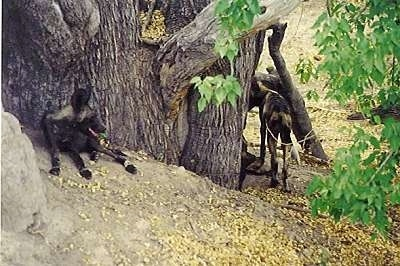 Two African Wild Dogs are laying under a tree and One is Walking around the tree.