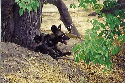 Two African Wild Dogs laying down in front of a tree cluster