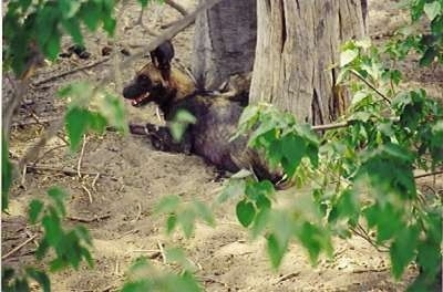 The back left side of an African Wild Dog that is laying next to an old dry tree.