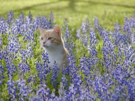 Ashley the Cat is sitting in a field of Lavender flowers