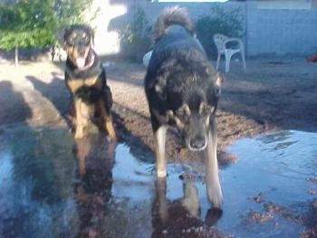 One black and tan dog is sitting on the outside of a puddle. There is another black and tan dog playing around in the puddle.