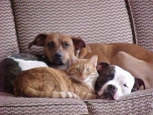 Two dogs on a couch with an orange tabby cat laying down in front of them
