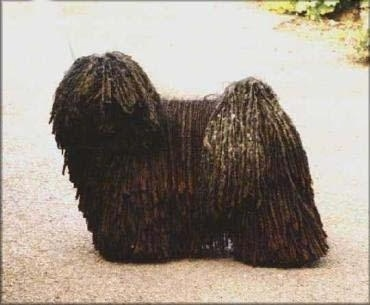 The left side of a black dreaded Puli that is standing across a concrete road and it is looking forward.