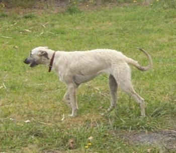 The left side of a white Staghound dog walking across a field and its mouth is slightly open. The dog has a pointy snout and a long tail that curls in a U shape.