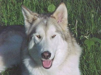 Timber Wolf (Gray Wolf) / Alaskan Malamute Hybrid Dogs