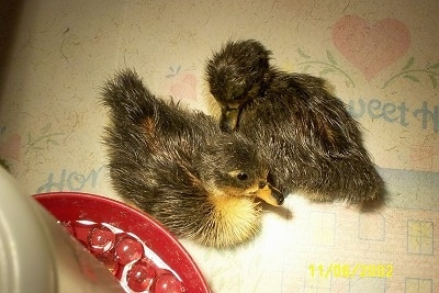 A top down image of two ducklings laying next to each other on a paper towel under a heat lamp next to a water dispenser.