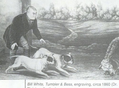 A drawing of the right side of two Bulldogs that are running at a cow with a man standing behind them.