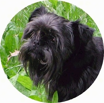 Close up - The left side of a black Affenpinscher that is standing in grass