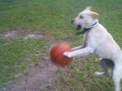 Action shot - A yellow Labrador Retriever dog is jumping at a basketball with its mouth open outside in grass.