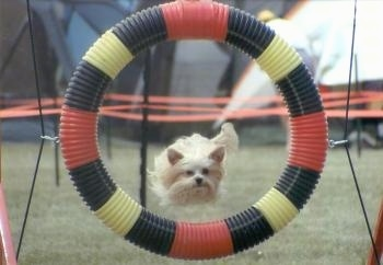 Lindsey the Yorkshire Terrier is jumping through a red, black and yellow circular tube agility ring on an obstacle course