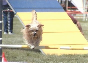 Lindsey the Yorkshire Terrier is jumping over a white and yellow agility bar obstacle