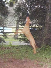 A Pit Bull Terrier is hanging from a rope that is tied up in a tree