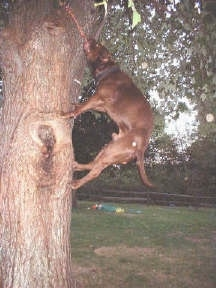 A Pit Bull Terrier has the rope hanging from a tree several feet from the ground and is trying to pull it down