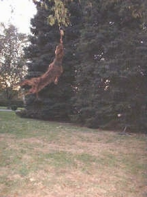 Pit Bull Terrier is swinging from a rope about 5 feet from the ground and hanging in a tree