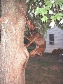 A Pit Bull Terrier is climbing on a tree to get the rope that is tied to the tree