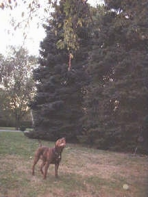 A Pit Bull Terrier looking up at a rope that is hanging from a tree