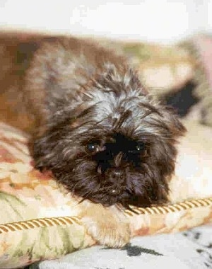 Close up - A tan Affenpinscher is laying down on a blanket