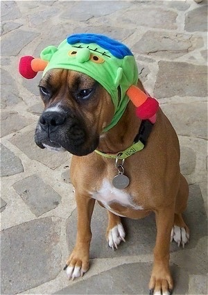 Allie the Boxer is wearing a green monster hat and sitting on a stone porch