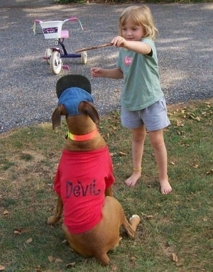 A little girl is holding a stick over a sitting Allie the Boxer who is wearing a red shirt with the words 'Devil' printed on the back of it. There is a tricycle in the background