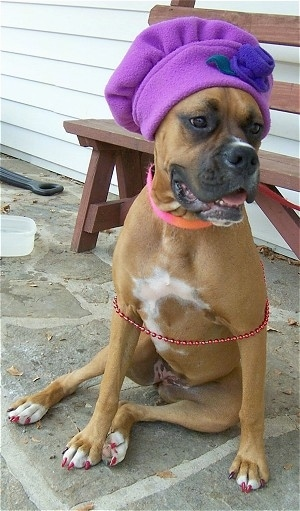 Allie the Boxer is sitting on a stone porch and wearing a purple Chefs hat with a red wooden bench behind her