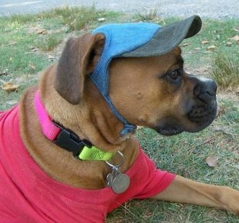 Close Up - Allie the Boxer is laying outside and wearing a red shirt with a blue hat and a yellow and pink collar with silver dog tags hanging from it