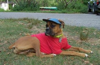 Allie the Boxer is laying outside and wearing a red shirt with a blue hat and a yellow necklace