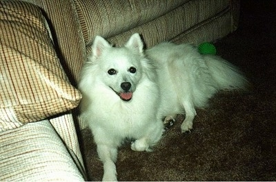 The left side of a white American Eskimo Dog that is laying against a couch