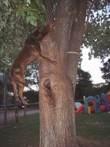 A Pit Bull Terrier is hanging from a tree several feet from the ground with the rope in its mouth