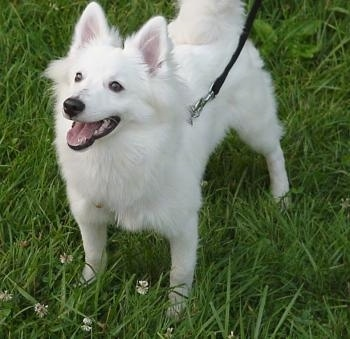 American Eskimo Puppies on American Eskimo Puppy Dogs