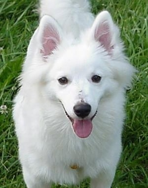 Close Up - Remi the American Eskimo puppy standing on grass with its mouth open and tongue out