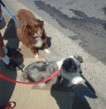 Topdown view of Two Australian Shepherds that are standing and sitting curbside. They are both looking to the right.