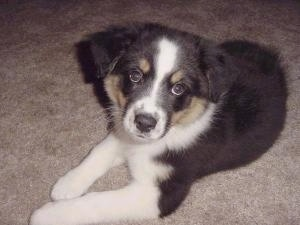 The front left side of a tri-color Australian Shepherd puppy that is laying on a carpet and it is looking forward.