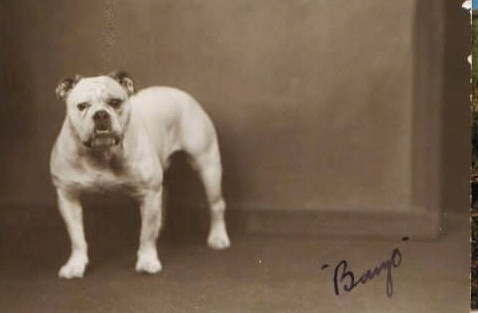A picture of a white Bulldog standing in front of a wall. Written on the picture is the word '-Bingo-'.