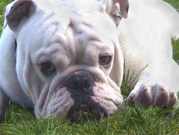Close Up - Bjorn the Bulldog laying in grass looking relaxed