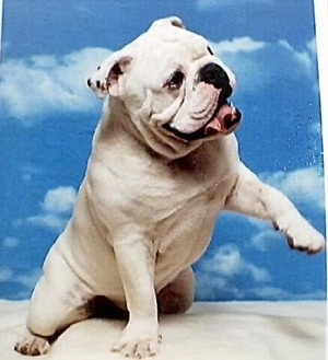 Bjorn the Bulldog, with its mouth open and tongue out, sitting on a blanket with a sky backdrop behind him.
