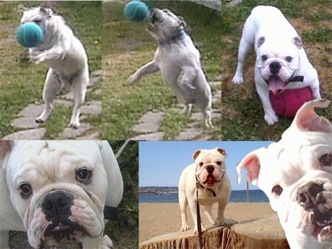 Bjorn the Bulldog in a photo compilation. Top Left - Bjorn the Bulldog with a caught Ball. Top Middle - Bjorn jumping to catch a Ball. Top Right - Bjorn with its mouth open and tongue and standing over a ball. Bottom Left - Close Up - Bjorns Face. Bottom Right - Bjorn standing on a stump at the beach. Picture of Bjorn overlayed in the bottom right corner