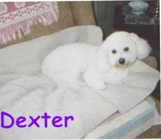 Dexter the Bichon Frise laying on a blanket on a couch with the word 'Dexter' overlayed in purple letters