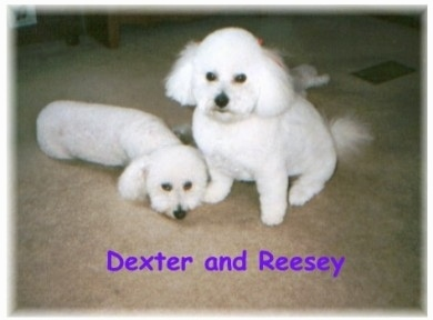 Dexter the Bichon Frise is laying on the carpet and sitting next to it is Reesey the Bichon Frise with the words 'Dexter and Reesey' overlayed in purple letters