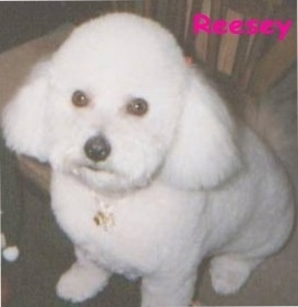 Close up - Reesey the Bichon Frise sitting on the carpet with the word 'Reesey' overlayed in hot pink letters