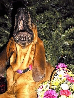 Close Up - Sadie the Bloodhound howling under a Christmas tree