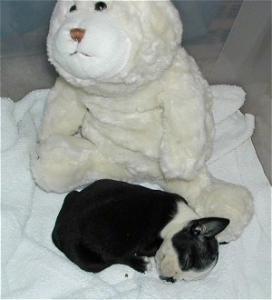 Mazzie Stellaluna the Boston Terrier sleeping on a white towel with a plush stuffed animal behind her