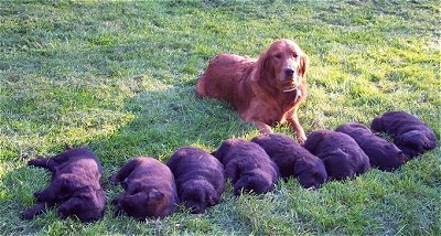 A brown dog is laying behind a line of black puppies out in the grass