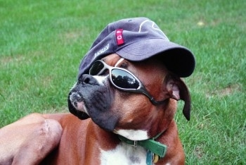 Buddy the fawn and black Boxer is wearing a baseball hat that is on sideways and a pair of sunglasses while laying outside in the grass