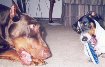 Cochise the Doberman Pinscher and Copper the Rat Terrier are laying on a carpet and chewing toys. They are looking into each others eyes
